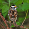 Nice over the shoulder look-Adult White-throated Sparrow <br /> Boone Co, IA- Spring 2012