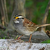 Adult White-throated Sparrow on Aspen log<br /> Boone Co, IA, Spring  2012