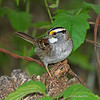 Adult White-throated Sparrow <br /> Boone Co, IA - 2012