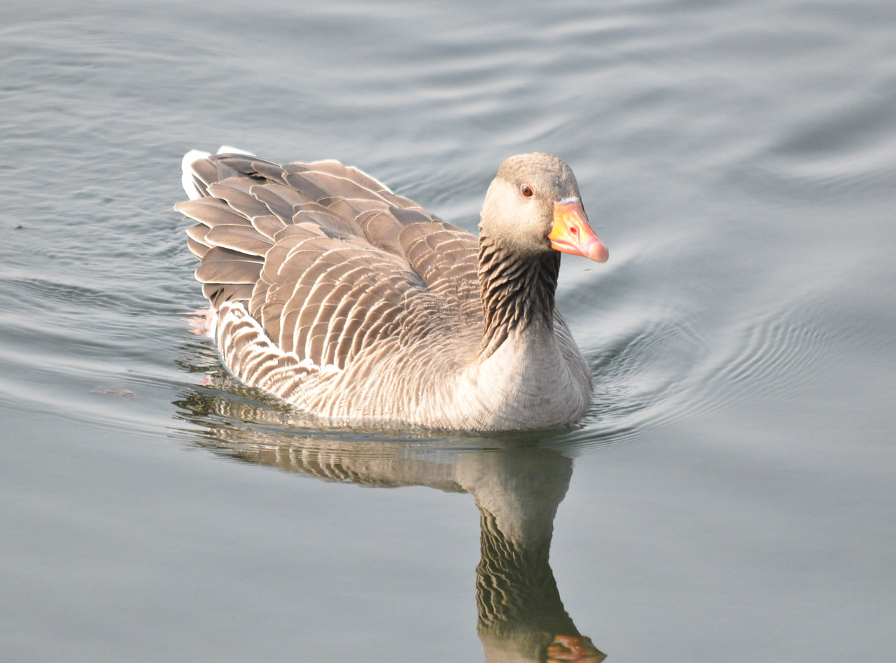 Greylag Goose Tring Res March 2011