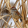 American Tree Sparrow - Harrier Marsh Boone Co.- 01-25-12