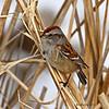 American Tree Sparrow - Harrier Marsh Boone Co.- 01-25-12