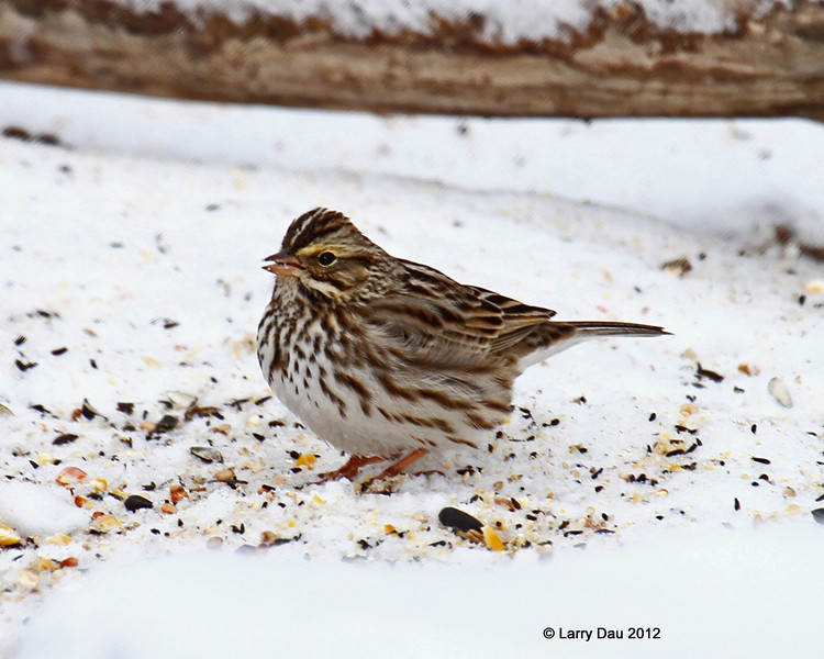 Rare wintering Savannah Sparrow at my feeders- 1/23/2012 Boone Co.