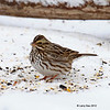 Rare wintering Savannah Sparrow at my feeders- 1/23/2012 Boone Co.