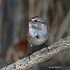 American Tree Sparrow- Boone County Iowa- 01/2012