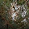 Saw Whet Owl near my house- Boone County-taken 1/6/12