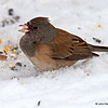 Oregon Junco at my feeders 1/20/2013