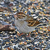 1st Year Chipping Sparrow overwintering at my feeder, Boone Co, Iowa, 1/5/13