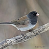 Oregon Junco at my feeder 01/4/13