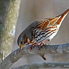 Neat pose- Fox Sparrow 2/24/13