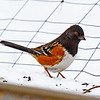Spotted Towhee Boone County near Ogden - at a friend's house. 2/1/13