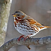 Overwintering Fox Sparrow? - 2/24/13 <br /> Boone Co.  coming into my feeders