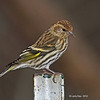 Pine Siskin on my land in Boone  County, 12/1/12