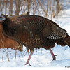 Wild Turkey- Boone Co- 2/24/13 At my feeders