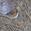 Harris's Sparrow - 2/1/13