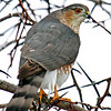 Cooper's Hawk at my feeder area.  Maybe this is why the birds have been staying away the last 2 days!<br /> Boone Co.  01/10/13
