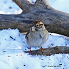 Chipping Sparrow - 1st Year- at my feeders Boone Iowa 01/04/13
