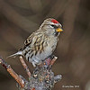 Common Red Poll on my land in Boone County - 12/1/12
