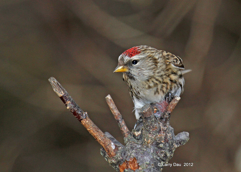 Common Red Poll in a neat pose on my land in Boone County - 12/1/12