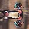 wood-duck-4410