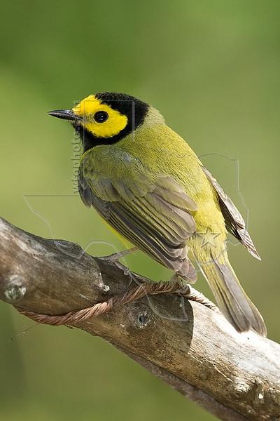 Hooded Warbler, Male,<br /> Quintana Neotropical Bird Sanctuary, Quintana, Texas