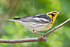 Blackburnian Warbler,<br /> Quintana Neotropical Bird Sanctuary, Quintana, Texas