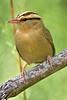 Worm-eating Warbler,<br /> Quintana Neotropical Bird Sanctuary, Quintana, Texas