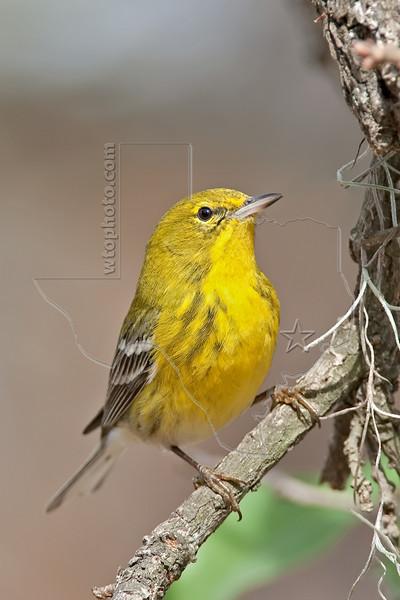Pine Warbler, Male,<br /> Hermann Park, Houston, Texas