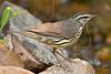 Northern Waterthrush,<br /> Quintana Neotropical Bird Sanctuary, Quintana, Texas