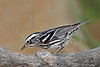 Black and White Warbler,,<br /> Quintana Neotropical Bird Sanctuary, Quintana, Texas