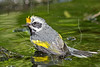 Golden-winged Warbler, Bathing, Wet,<br /> Lafitte's Cove, Galveston, TX