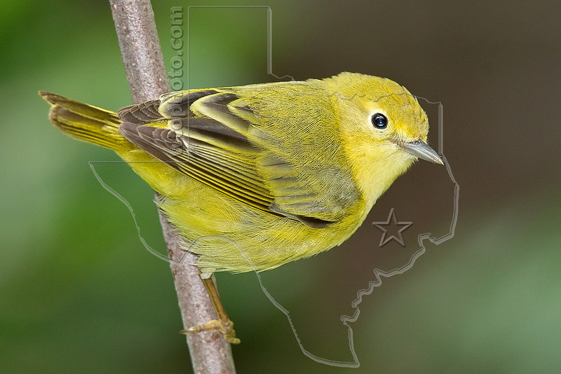 Yellow Warbler, Female,<br /> Lafitte's Cove, Galveston, TX
