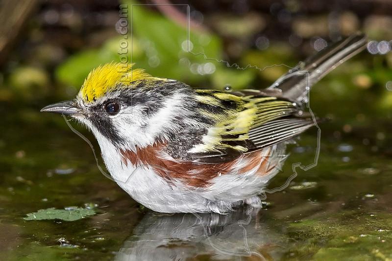 Chestnut-sided Warbler, Bathing, Wet,<br /> Lafitte's Cove, Galveston, TX