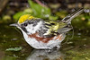 Chestnut-sided Warbler, Bathing, Wet,<br /> Lafitte's Cove, Galveston, TX