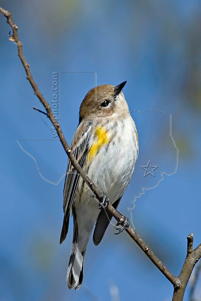 Yellow-rumped Warbler,<br /> Brazos Bend State Park, Texas