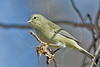 Ruby-crowned Warbler,<br /> Brazos Bend State Park, Texas