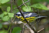 Magnolia Warbler, Male,<br /> Quintana Neotropical Bird Sanctuary, Freeport, Texas
