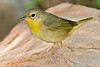 Common Yellowthroat Warbler, Female,<br /> Quintana Neotropical Bird Sanctuary, Quintana, Texas