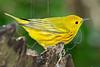 Yellow Warbler, Male,<br /> Lafitte's Cove, Galveston, TX
