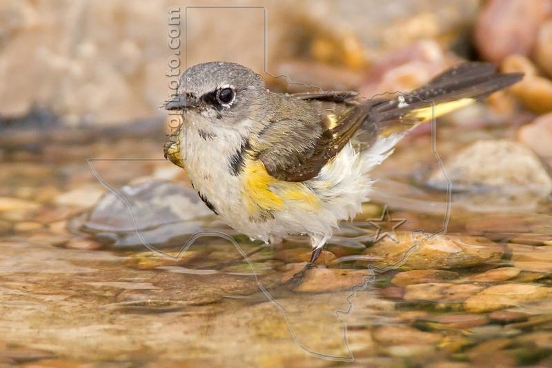 American Redstart, Immature Male, Bathing,<br /> Quintana Neotropical Bird Sanctuary, Quintana, Texas