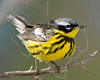 Magnolia Warbler, Male,<br /> Quintana Neotropical Bird Sanctuary, Quintana, Texas