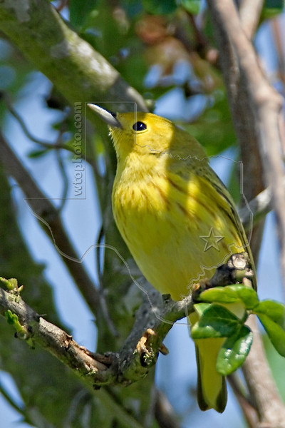 Yellow Warbler,<br /> Quintana Neotropical Bird Sanctuary, Freeport, Texas