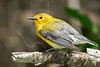 Prothonotary Warbler, Wet,<br /> Quintana Neotropical Bird Sanctuary, Quintana, Texas