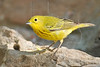 Yellow Warbler,<br /> Quintana Neotropical Bird Sanctuary, Quintana, Texas