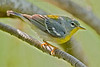 Northern Parula, Female,<br /> Quintana Neotropical Bird Sanctuary, Quintana, Texas