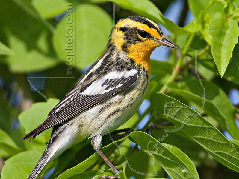 Blackburnian Warbler,<br /> Quintana Neotropical Bird Sanctuary, Freeport, Texas