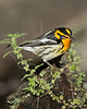 Blackburnian Warbler,<br /> Lafitte's Cove, Galveston, TX