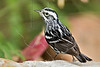Black and White Warbler,<br /> Quintana Neotropical Bird Sanctuary, Quintana, Texas