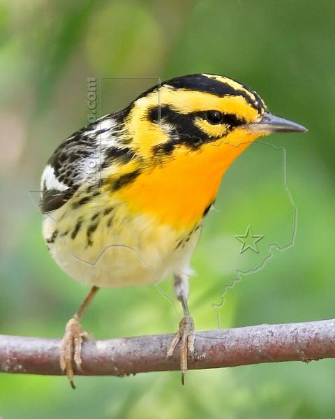 Blackburnian Warbler,<br /> Quintana Neotropical Bird Sanctuary, Quintana, Texas
