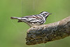 Black-and-White Warbler,<br /> Quintana Neotropical Bird Sanctuary, Freeport, Texas